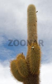 Cardon cactus at Isla de Pescador, bolivia