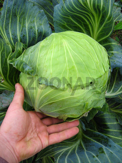 hand near the big head of green cabbage