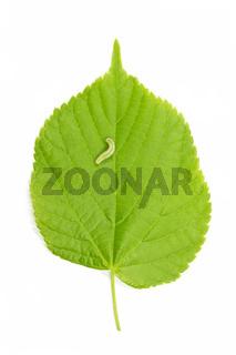 Raupe und Haselnussblatt (Corylus Avellana)