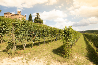 Vineyard in Piedmont Region, Italy, with Grinzane Cavour castle in the background