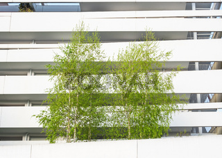 Birch trees and modern building