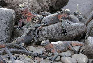 Meerechsen (Amblyrhynchus cristatus), Unterart der Insel Espanol