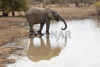 Elefant am Wasserloch (loxodonta africana)