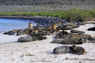 Galapagos Seeloewe (Zalophus wollebaeki) , Insel Santa Fe, Gala