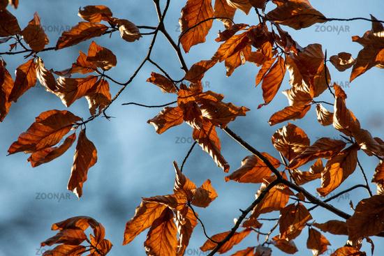 Leafage in autumn (Lipnitzsee)