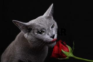Russisch Blau leckt an einer Rose