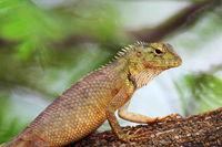 Oriental garden lizard, eastern garden lizard, bloodsucker or changeable lizard, Calotes versicolor, Vashi, Mumbai, India