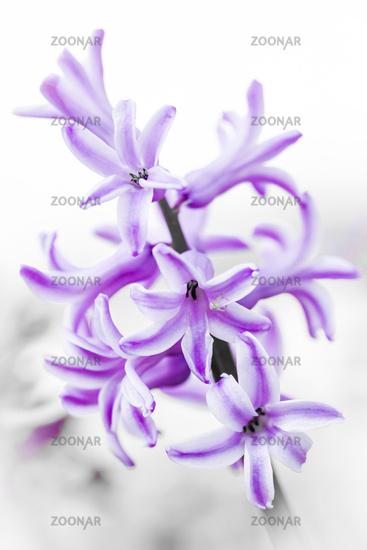 summer hyacinth, Ornithogalum candicans