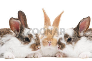 three young baby rabbit isolated