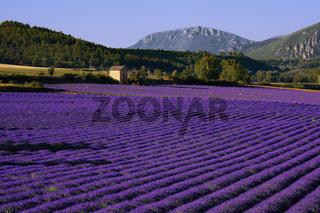 Lavendelfelder bei Puimoisson, Provence, France