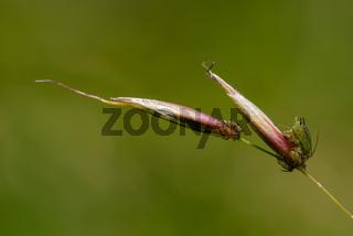 Röhrenblattläuse, plant lice (Aphididae)