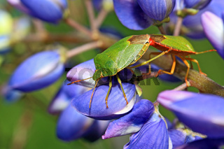 two green bedbugs on turn blue lupine
