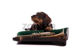 Junghund Dackel mit Koffer und Trompete