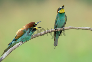 Two Bee-eaters on a branch