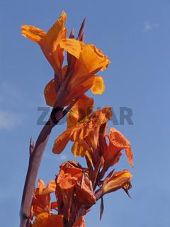 Blumenrohr