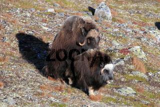Moschusochsen Paarung Norwegen
