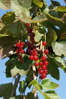Ribes rubrum Rovada, Rote Johannisbeere