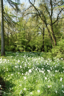 Narcissus poeticus, Dichternarzissen, Daffodils
