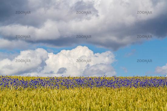 Cornfield with blue cornflowers