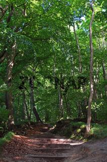 Buchenwald Rügen / beech forest Rugia Germany