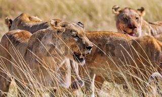 Löwenrudel, Etosha-Nationalpark, Namibia