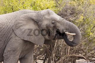 Elefant (loxodonta africana) am Wasserloch