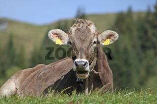 Kuh ruhend auf der Bergwiese