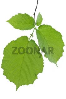 Haselnussblätter (Corylus Avellana)
