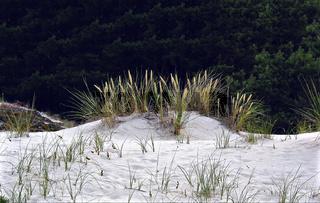 Düne aus weißem Sand mit Dünengras auf der Halbinsel Darßer Ort