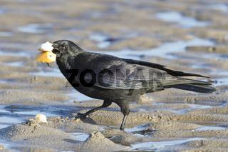 Kolkrabe (Corvus corax) am Strand