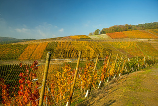 Weinberge im Ahrtal, hier wird Rotwein der Spätburgunder und Portugieser Traube angebaut, Rotweinanbaugebiet, Eifel, Rheinland-Pfalz, Deutschland, Europa