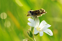 grizzled skipper on white flower IV