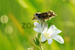 Kleiner Würfel-Dickkopffalter auf weißen Blumen IV