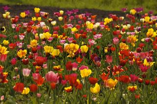 Tulpenfeld bei Gegenlicht im Osnabrücker Land