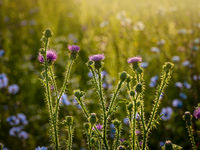 Blooming thistle on a sunny morning in a summer field.