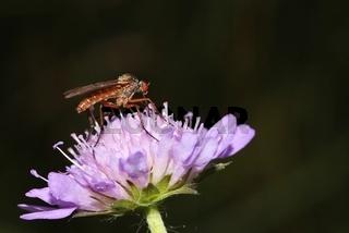 Tanzfliege auf Ackerwitwenblume