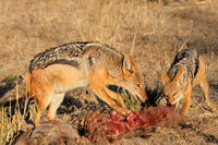 Black-backed jackals (Canis mesomelas) scavenging on a carcass