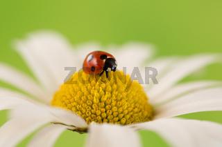 Marienkäfer auf einer Blüte einer Blume