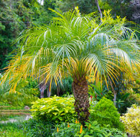 Costa Rica Pygmy date palm