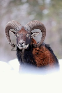 Mouflon ram looking on snowy meadow in wintertime nature.