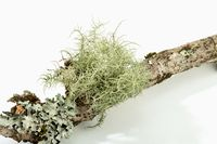 Lichen on tree branch isolated on white background