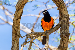 Orange-backed Troupial sitting in tree