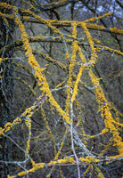 Lichen on some branches of a tree