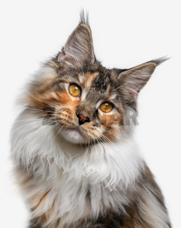 closeup white with ginger Maine Coon cat