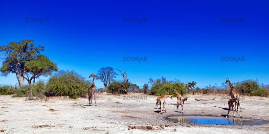 Giraffes at Chobe National Park, Botsuana; Giraffa camelopardalis