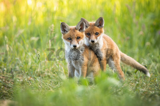 Red fox cubs playing on green grass and looking into camera in summer nature