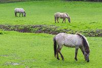 3 Tarpan horses on a meadow