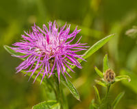 Brown knapweed  'Centaurea jacea'