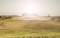 Sunflower plantation in Tuscany at sunrise.