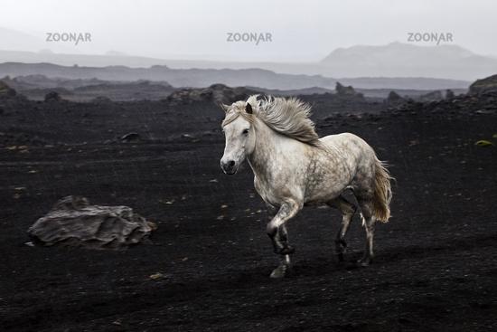 Free-running Icelandic horse (Equus ferus caballus) in black lava landscape, Landmannaleid, Iceland